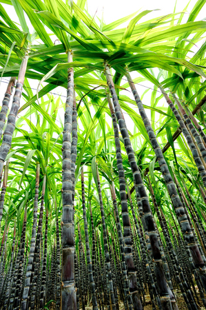 azucar: ca�a de az�car en el crecimiento en el campo Foto de archivo