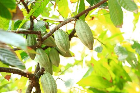 fruits de cacao se développer sur l'arbre