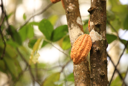 나무에 카카오 열매가 자랍니다.