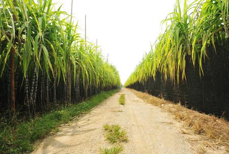 azucar: las plantas de ca�a de az�car crecen en el campo Foto de archivo