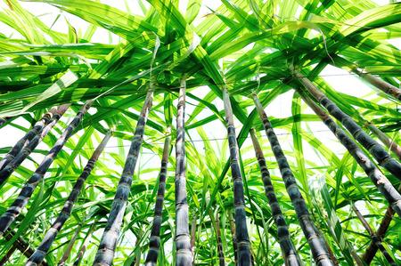 sugar cane farm: sugarcane plants grow in field
