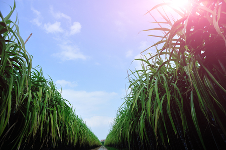 sugar: sugarcane plants grow in field