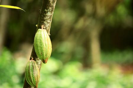 cacao: cacao fruit grow on tree