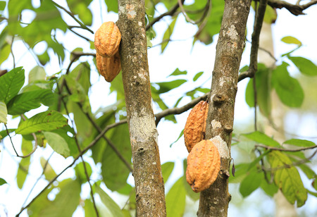 cocoa fruit: Cocoa fruit grow on tree