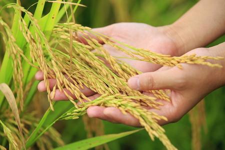 arroces: arroz de la cosecha en el campo de arroz