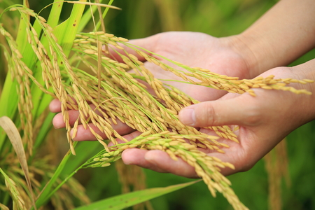 rice grain: harvest rice at paddy field Stock Photo