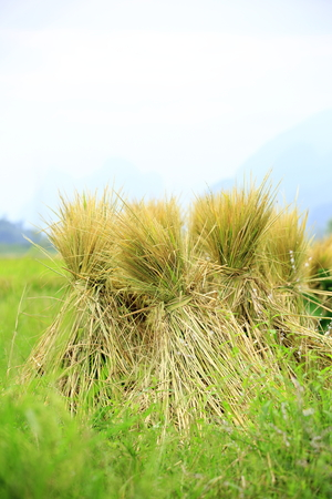 harvest field: Harvest rice paddy straw at field. Stock Photo