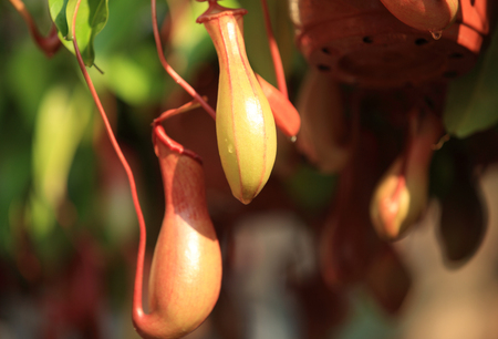 nepenthes: nepenthes villosa - pitcher plants