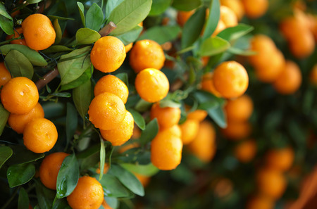 citrus orange grow on tree
