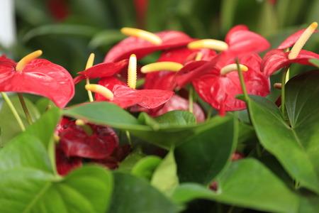 anthurium: red anthurium flower in botanic garden anthurium andraeanum, araceae arum Stock Photo