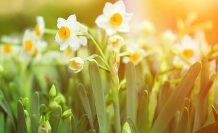 lent: narcissus flowers Stock Photo