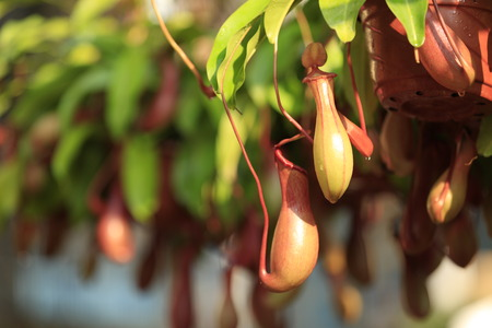 nepenthes: closeup of nepenthes villosa - pitcher plants