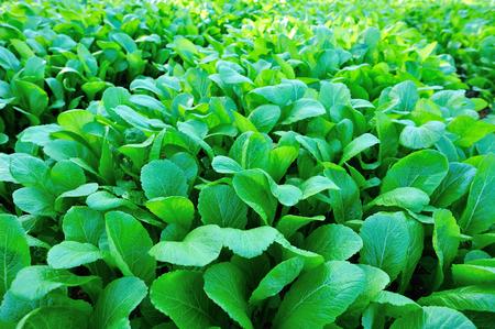 mustard leaf: Green leaf mustard in growth at vegetable garden