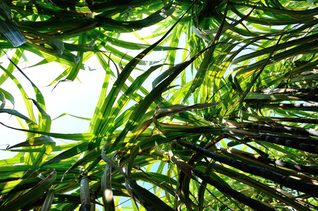 azucar: sugarcane in growth at field
