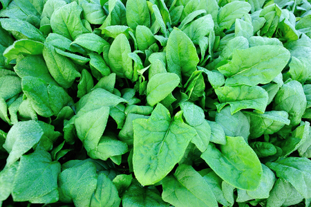 spinage: green spinach growing in the vegetable garden Stock Photo