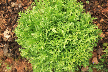 ruccola: Ruccola plants in growth at garden Stock Photo