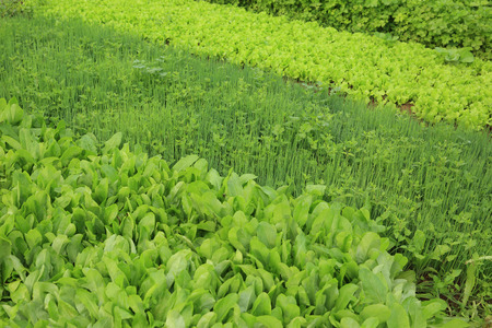 botanical farms: variety vegetable plants in growth at vegetable garden
