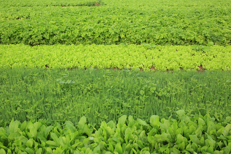 vegetable plants: variety vegetable plants in growth at vegetable garden