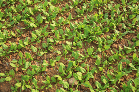 spinage: green spinach in growth at vegetable garden Stock Photo