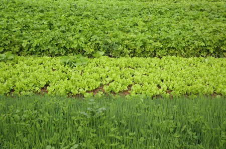 botanical farms: green celery,lettuce and spring onion crops in growth at garden