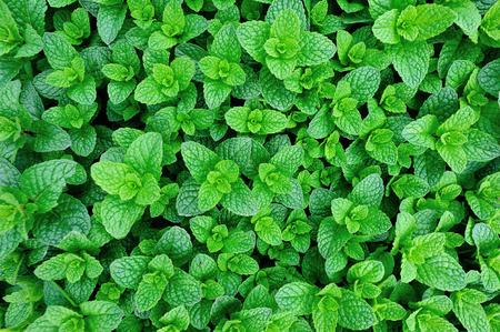 야채 정원에서 민트 식물 성장