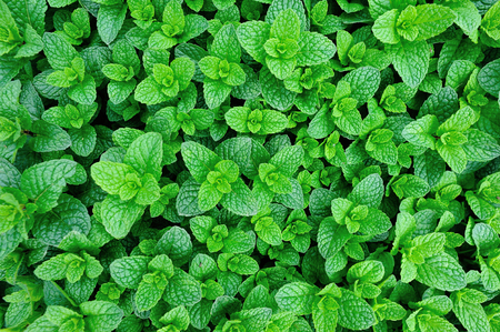 mint leaves: mint plant grow at vegetable garden