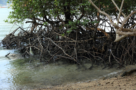 mangroves: green mangroves growing in tropical seaside beach