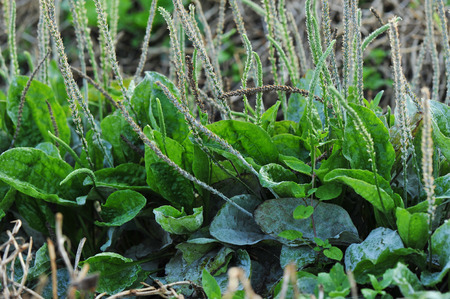 plantain herb: green plantain plants in growth in the nature