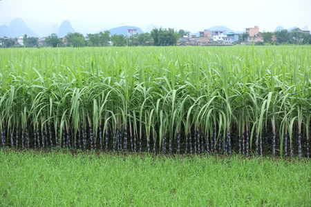 cultivation: sugarcane plants grow in field