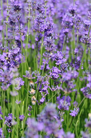 scented: scented lavender flowers field