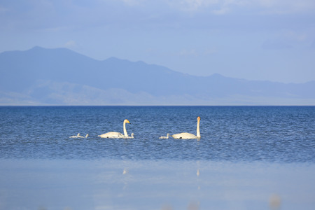 tranquilly: swan family swimming on the lake