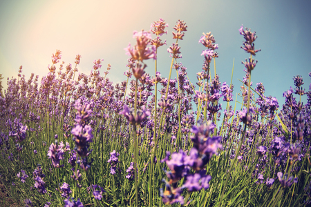 scented: scented lavender flowers field under blue sky
