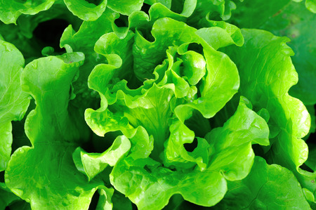 botanical farms: green lettuce crops in growth at vegetable garden
