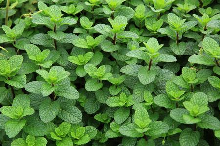 field mint: green mint plants in growth at field