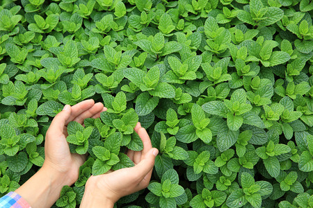 hands protect organic mint plants in garden Stock Photo