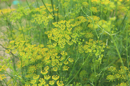 Fennel (Foeniculum vulgare) in growth at garden Stock Photo