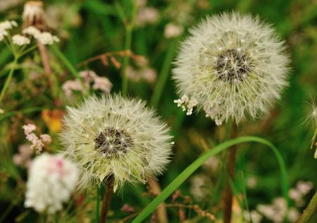 landscape: Beautiful Taraxacum flower on a green garden Stock Photo