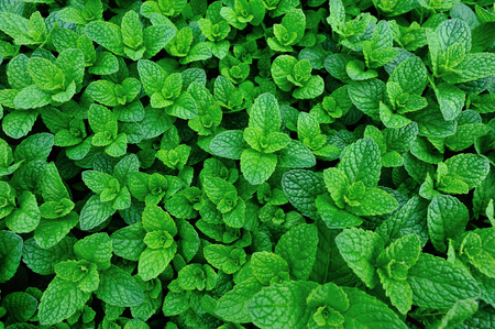 green mint plants growing at vegetable garden  Stock Photo