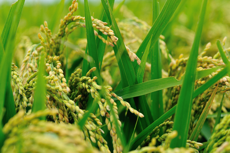 closeup of rice grain in growth at field