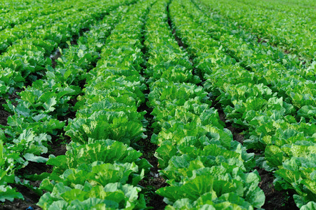 gren chinese cabbage and radish crops in growth at field