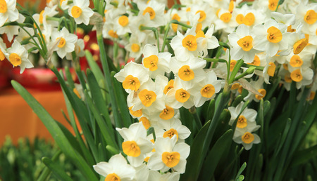 Narcissus flowers for chinese lunar new year's decoration 스톡 콘텐츠