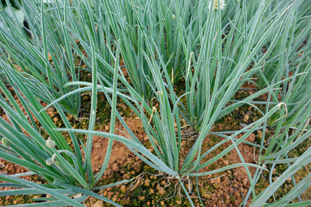 Green spring onion growing at vegetable garden Stock Photo