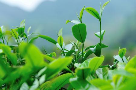 Growing green tea leaves in spring mountains 免版税图像
