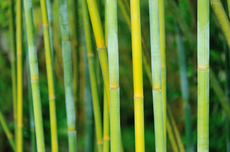 bamboo trees in garden Stock Photo