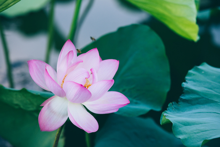 Beautiful pink lotus flower with green leaves in pond