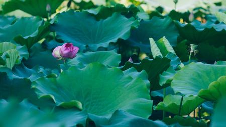 twin lotus flowers on one stalk