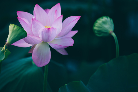 View of pink lotus flower with green leaves in pond Stock Photo