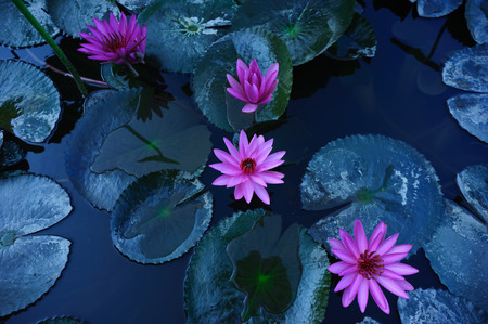 Top view of pink lotus flower with green leaves in pond Stock Photo