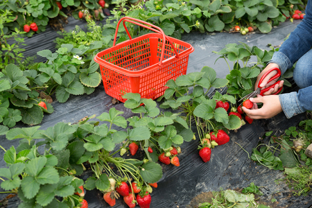 farmer hands harvesting strawberry in garden