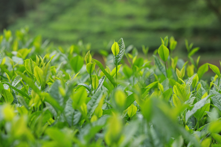 green tea trees in spring mountains